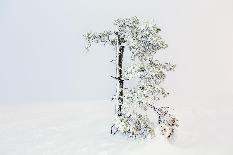 Arctic Trees